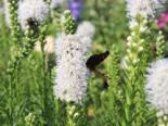 Stauden - Ährige Prachtscharte 'Floristan Weiß', Liatris spicata 'Floristan Weiß', Topfware