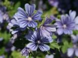 Algiermalve,  Mauretanische Malve 'Primley Blue' Malva sylvestris 'Primley Blue'