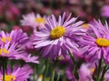 "Alpen-Aster ""Happy End"" Aster alpinus ""Happy End"""