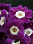 Primula auricula 'Anderl'