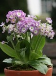 Alpen-Aurikel 'Bartl', Primula auricula 'Bartl', Topfware