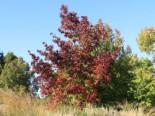 Amberbaum Liquidambar styraciflua
