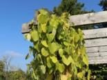 Kletterpflanzen - Amerikanische Pfeifenwinde / Pfeifenblume / Gespensterpflanze, 40-60 cm, Aristolochia macrophylla (durior), Containerware