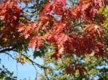 Amerikanische Roteiche, 100-125 cm, Quercus rubra, Containerware