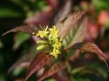 Blütensträucher und Ziergehölze - Amerikanische Weigelie / Schein-Weigelie, 40-60 cm, Diervilla splendens, Containerware