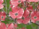 Blütensträucher und Ziergehölze - Amerikanischer Blumen-Hartriegel 'Cherokee Brave', 40-60 cm, Cornus florida 'Cherokee Brave', Containerware