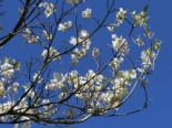 Blütensträucher und Ziergehölze - Amerikanischer Blumen-Hartriegel 'Cloud Nine', 40-60 cm, Cornus florida 'Cloud Nine', Containerware
