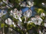Blütensträucher und Ziergehölze - Amerikanischer Blumen-Hartriegel 'Rainbow', 40-60 cm, Cornus florida 'Rainbow', Containerware
