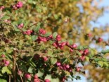 Amethystbeere 'Magic Berry' Symphoricarpos doorenbosii