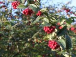 Blütensträucher und Ziergehölze - Amselbrotbaum / Großblättrige od. Runzelige Strauchmispel, 60-100 cm, Cotoneaster bullatus, Containerware