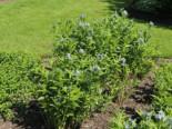 Amsonie / Röhrenstern, Amsonia tabernaemontana, Topfware