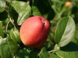 Apfel 'Erbachhofer Mostapfel', Stamm 40-60 cm, 120-160 cm, Malus 'Erbachhofer Mostapfel', Wurzelware