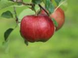 Apfel 'Florina' ® / 'Querina', Stamm 40-60 cm, 120-140 cm, Malus 'Florina' ® / 'Querina', Containerware