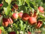 Apfel 'Rewena'  ®, Stamm 40-60 cm, 120-140 cm, Malus 'Rewena'  ®, Containerware