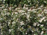 Apfelbeere 'Brilliant', 40-60 cm, Aronia arbutifolia 'Brilliant', Containerware