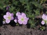 Alpine Stauden - Aschgrauer Storchschnabel 'Lizabeth', Geranium cinereum 'Lizabeth', Topfballen