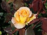 Edelrose 'Whisky' ®, Rosa 'Whisky' ®, Containerware