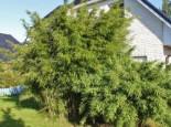 Gartenbambus Jumbo