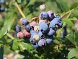 Heidelbeere 'Bluecrop', 15-20 cm, Vaccinium corymbosum  'Bluecrop', Jungpflanzen (Topf)