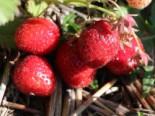 Erdbeere 'Elsanta' ®, 15-20 cm, Fragaria 'Elsanta' ®, Topfware