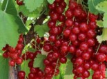 Beeren - Rote Johannisbeere 'Rolan', 30-40 cm, Ribes rubrum 'Rolan', Containerware