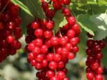 Beeren - Rote Johannisbeere 'Stanza', 30-40 cm, Ribes rubrum 'Stanza', Containerware