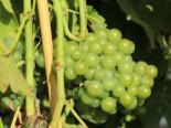 Weintrauben - Weintraube 'Seyval Blanc', 80-100 cm, Vitis 'Seyval Blanc', Containerware