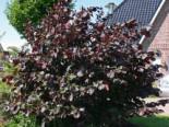 Blütensträucher und Ziergehölze - Purpurhasel  /  Bluthasel 'Purpurea', 100-150 cm, Corylus maxima  'Purpurea', Containerware