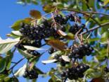 Apfelbeere 'Hugin' Aronia melanocarpa 'Hugin'
