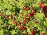Rote Stachelbeere 'Redeva'