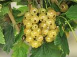 Beeren - Weiße Johannisbeere 'Weiße Langtraubige', 10-20 cm, Ribes rubrum 'Weiße Langtraubige', Topfballen