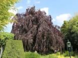 Buchenbaum bestellen