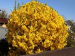 Blütensträucher und Ziergehölze - Goldglöckchen / Forsythie 'Spectabilis', 100-150 cm, Forsythia x intermedia 'Spectabilis', Containerware