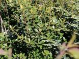 immergrüne Laubbäume - Japan-Stechpalme, 10-15 cm, Ilex crenata, Topfware