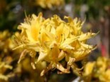 Azaleen - Laubabwerfende Azalee pontica / flavum, 25-30 cm, Rhododendron luteum / flavum / Azalea pontica, Containerware