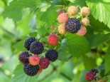 Beeren - Himbeere 'Black Jewel', 30-40 cm, Rubus idaeus 'Black Jewel', Containerware