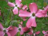 Amerikanischer Blumen-Hartriegel 'Sweetwater' Cornus florida 'Sweetwater'