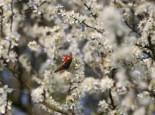 Wildbäume u. Wildsträucher - Schlehe / Schwarzdorn, 60-100 cm, Prunus spinosa, Containerware