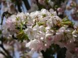 Schneekirsche / Winterkirsche / Japanische Blütenkirsche 'Autumnalis', 60-100 cm, Prunus subhirtella 'Autumnalis', Containerware