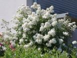 Wildrose Vielblütige Rose / Büschelrose, 60-100 cm, Rosa multiflora, Wurzelware