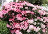 Rhododendron 'Lem's Monarch', 30-40 cm, Rhododendron Hybride 'Lem's Monarch', Ballenware
