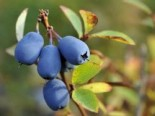 Laubbäume - Honigbeere / Sibirische Blaubeere 'Blue Velvet' ®, 30-40 cm, Lonicera kamtschatica 'Blue Velvet' ®, Containerware