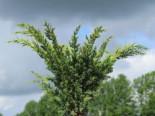 Nadelbäume u. Koniferen - Blaauw's Wacholder, 40-60 cm, Juniperus chinensis 'Blaauw', Containerware