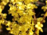 Blütensträucher und Ziergehölze - Goldglöckchen / Forsythia 'Minigold', 40-60 cm, Forsythia intermedia 'Minigold', Containerware