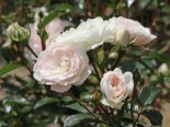 Bodendeckerrose 'Sea Foam' ®, Rosa 'Sea Foam' ®, Containerware