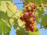 Weintrauben - Weintraube 'Vanessa' ®, 80-100 cm, Vitis 'Vanessa' ®, Containerware