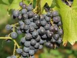 Weintrauben - Weintraube 'New York Muscat' / Pergola Weinrebe, 80-100 cm, Vitis 'New York Muscat', Containerware