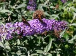 Sommerflieder / Schmetterlingsstrauch 'Lochinch', 40-60 cm, Buddleja davidii 'Lochinch', Containerware