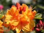 Laubabwerfende Azalee 'Sunte Nectarine', 30-40 cm, Rhododendron luteum 'Sunte Nectarine', Containerware