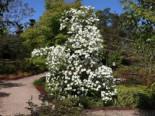 Blütensträucher und Ziergehölze - Amerikanischer Blumen-Hartriegel 'Eddie's White Wonder', 60-80 cm, Cornus nuttallii 'Eddie's White Wonder', Containerware